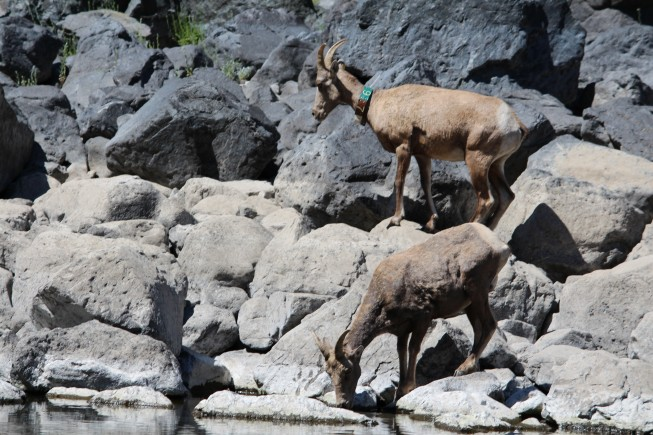 bighorn sheep lower salmon