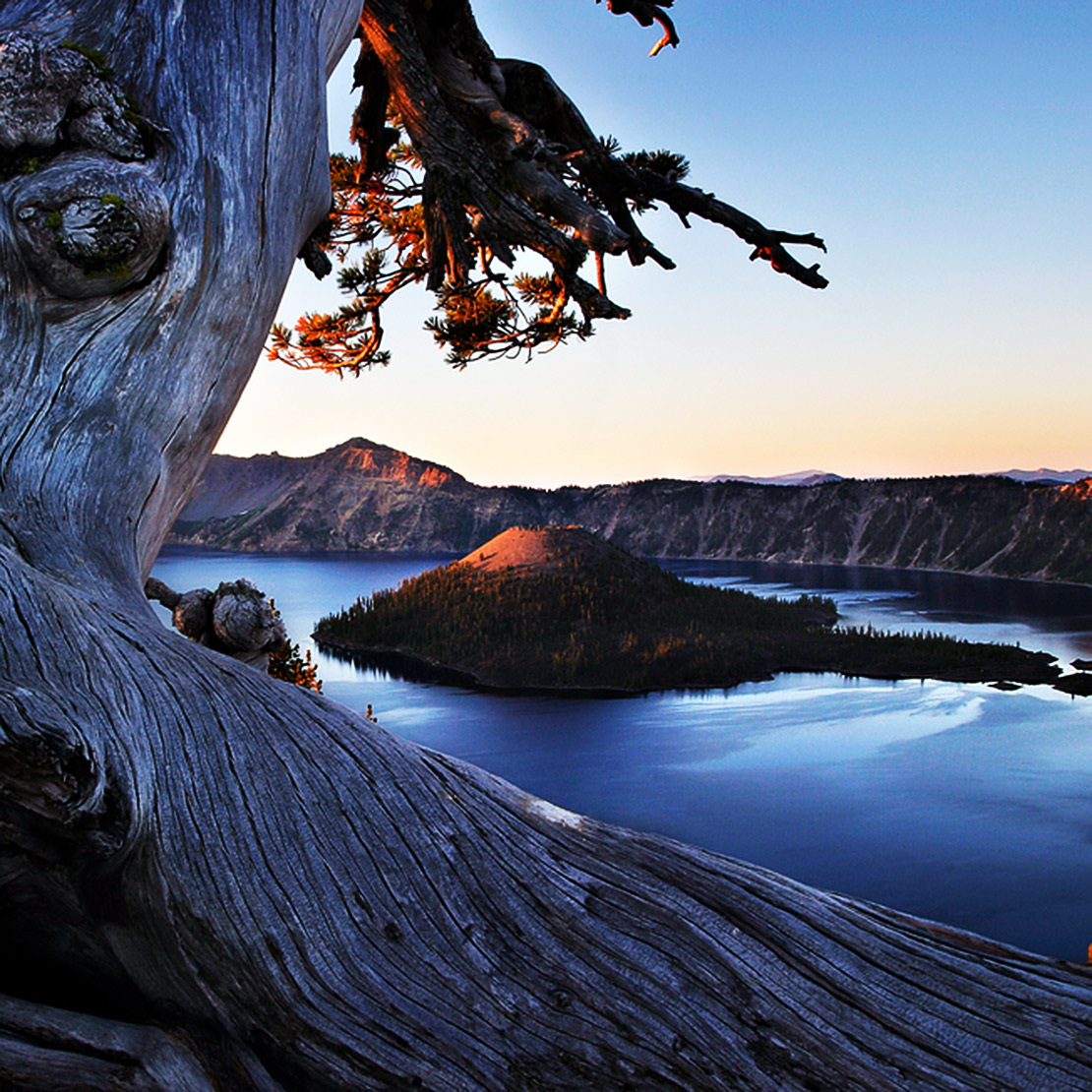Gnarled tree above Crater Lake